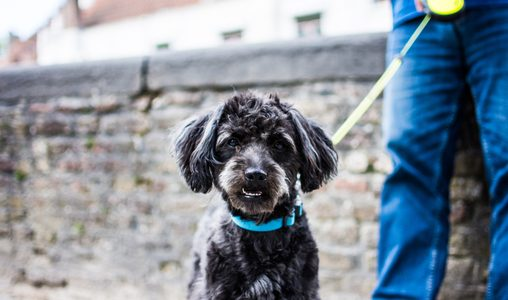 How to deal with the aging of the urban dog?